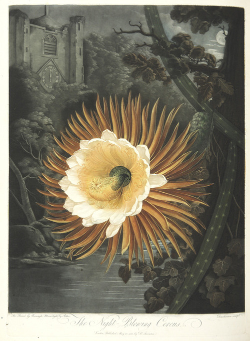 The Night Blooming Cereus