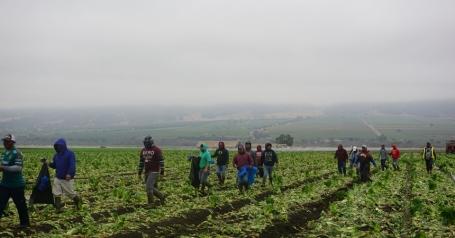 salinas-sla-oogsten