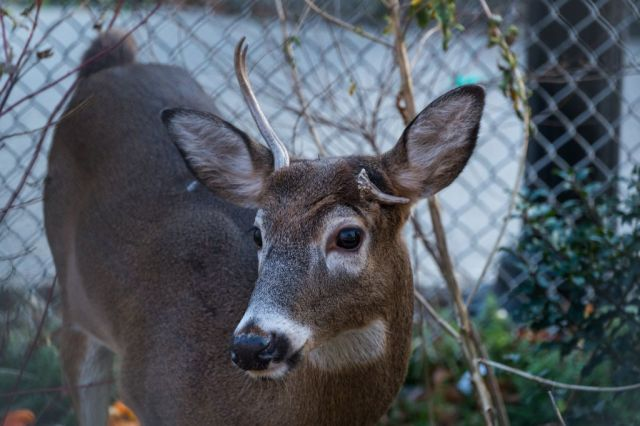 A deer at the Jackie Robinson Park in Harlem, where it had been living for about a month, in Manhattan.